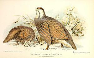 Snowcock - Tetraogallus caspius