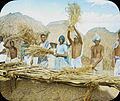 Tharus beating out the rice from the ears, Harnatar, India, ca. 1906 (IMP-CSCNWW33-OS14-51).jpg