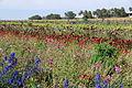 The Flower Fields at Carlsbad Ranch 51 2014-04-28.jpg