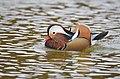 The Mandarin Duck of St. Ferdinand Park (44854299525).jpg