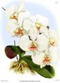 The Orchid Album-01-0035-0011-Phalaenopsis amabilis dayana.png