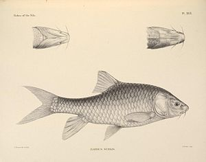 The fishes of the Nile (Pl. XLII) (6961614497).jpg
