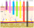 The skin cross-section showing dermal penetration by different wavelengths of light.png