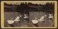 The swans on the lake, by T. C. Roche.png