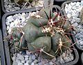 Thelocactus hexaedrophorus 2e.jpg