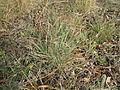 Themeda triandra leaf2 St Marks Canberra (16073547671).jpg