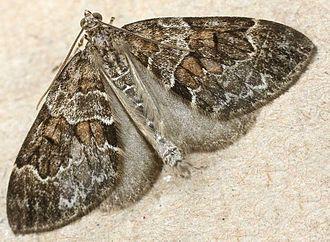 Thera (moth) - Thera britannica