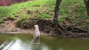 Thirsty Big White Cat.jpg