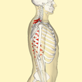 Thoracic vertebrae lateral.png