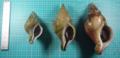 Three Kelletia lischkei.png