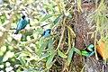 Three thraupidae species.jpg