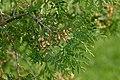 Thuja occidentalis - cone 2 (aka).jpg