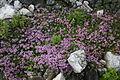 Thymus quinquecostatus.JPG