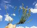 Thymus vulgaris sl2.jpg