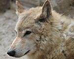 Tibeta Wolf.JPG