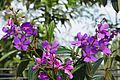 Tibouchina Granulosa (Purple Glory Tree) (28609060940).jpg