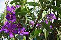 Tibouchina Granulosa (Purple Glory Tree) (28862898856).jpg