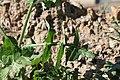 Tiffaf - Sonchus oleraceus .jpg