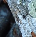 Tiger beetle catching an ant.JPG