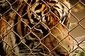 Tiger behind chainlink fence (5213909966).jpg