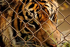 Tiger behind chainlink fence (5213909966).jpg