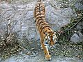 Tiger in beijng zoo.JPG