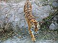 Tiger in beijng zoo.JPG