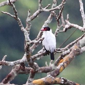 Black-tailed tityra - male at Manaus, Amazonas state, Brazil