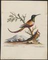 Topaza pella - 1700-1880 - Print - Iconographia Zoologica - Special Collections University of Amsterdam - UBA01 IZ19100233.tif