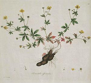 Flora Londinensis - Image: Tormentilla officinalis (Sowerby)