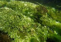 Touffes d'algues vertes filamenteuses dans Les Baillons aout2017 a 09.jpg