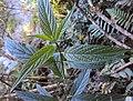 Tournefortia heyneana 07.JPG