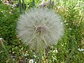 Tragopogon pratensis Corvaia 01.jpg