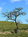 Tree and wheelie bin near Folly Farm, Liddington - geograph.org.uk - 742366.jpg