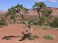 Tree at the Goosenecks overlook in Capitol Reef NP.jpeg