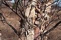 Tree bark 2666.jpg