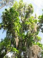Tree near Devil's Millhopper - panoramio.jpg