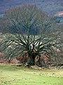 Tree near Middleton - geograph.org.uk - 723235.jpg