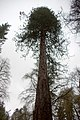 Tree on Mount Strange, Dianas Grove, Blair Castle (geograph 3936402).jpg