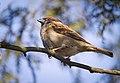 Tree sparrow (32221983507).jpg