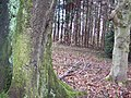 Trees in Grovely Woods - geograph.org.uk - 350706.jpg