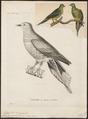 Treron oxyurus - 1700-1880 - Print - Iconographia Zoologica - Special Collections University of Amsterdam - UBA01 IZ15600027.tif