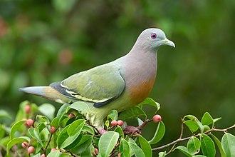 Columbidae - Pink-necked green pigeon
