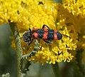 Trichodes sp. - Flickr - S. Rae (1).jpg