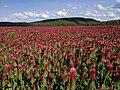 Trifolium incarnatum field.jpg