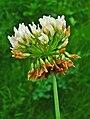Trifolium repens 002.JPG