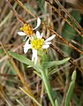 Tripolium pannonicum RHu 02.JPG