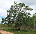 Tristania suaveolens 2.jpg
