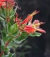 Tristerix pubescens (8662844717).jpg