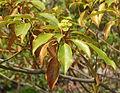 Trochodendron aralioides 01.jpg